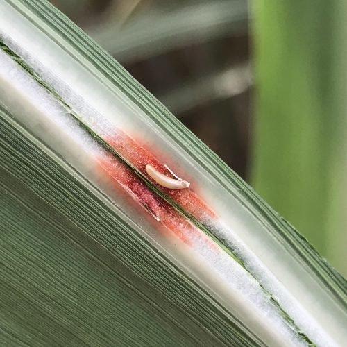 Ovo de esperança dentro de nervura de folha da cana-de-açúcar Pagrisa, PA Foto Alexandre S. Pinto